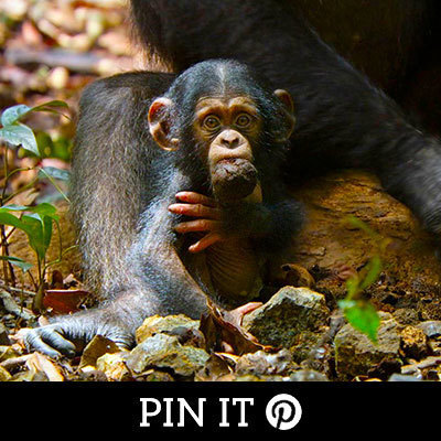 Chimpanzee on Pintrest
