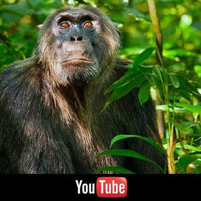 Chimpanzee on YouTube