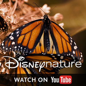 Disneynature on YouTube