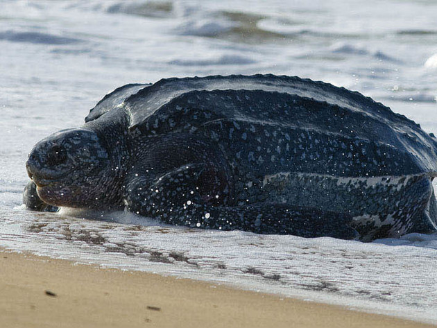 A leatherback turtle rests on the shore.