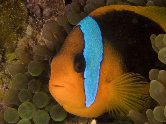 A clownfish peeks through some anemone.