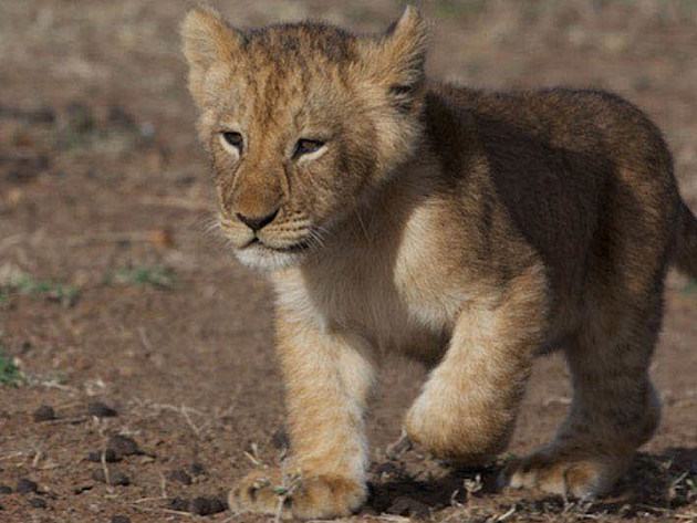 Meet Mara, a brave lion cub living in one of the wildest places on earth.