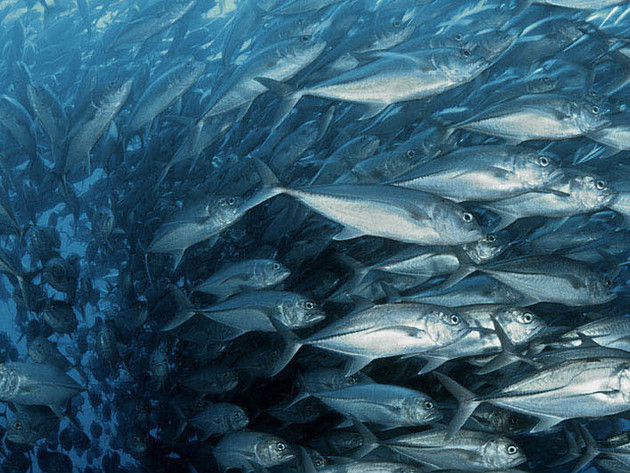 Bigeye trevally move as one through the water.